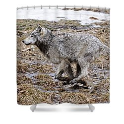 Shower Curtain featuring the photograph Running Timber Wolf by Wolves Only