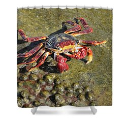 Shower Curtain featuring the photograph Sally Lightfoot Crab On Rock by Bradford Martin