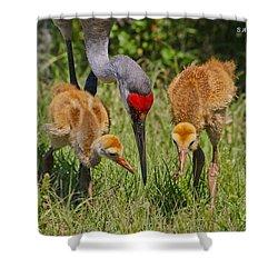 Sandhill Crane Family Feeding Shower Curtain