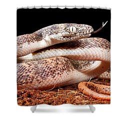 Savu Python In Defensive Posture Shower Curtain