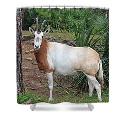 Scimitar Horned Oryx Shower Curtain by Richard Bryce and Family