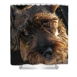 Scottish Terrier Closeup Shower Curtain by Jess Kraft
