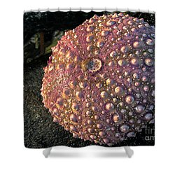 Sea Urchins Shower Curtain by Robert Bales