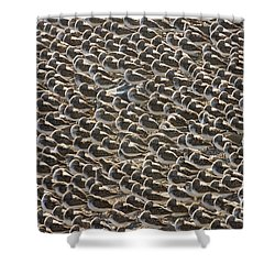 Semipalmated Sandpipers Sleeping Shower Curtain