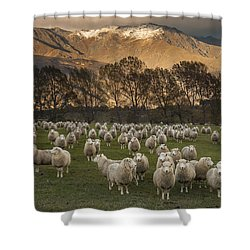 Shower Curtain featuring the photograph Sheep Flock At Dawn Arrowtown Otago New by Colin Monteath, Hedgehog House