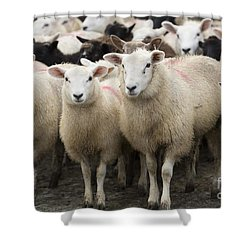 Sheep In A Farm Yard Shower Curtain
