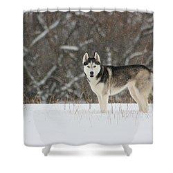 Siberian Husky 20 Shower Curtain by David Dunham