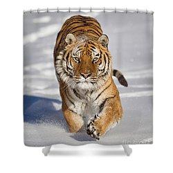 Siberian Tiger Coming Forward Shower Curtain