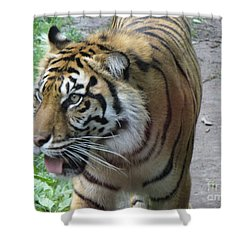 Shower Curtain featuring the photograph Siberian Tiger by Lingfai Leung