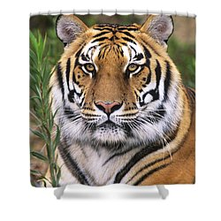 Siberian Tiger Staring Endangered Species Wildlife Rescue Shower Curtain by Dave Welling