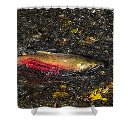 Silver Salmon Spawning Shower Curtain
