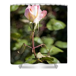 Shower Curtain featuring the photograph Single Rose by David Millenheft