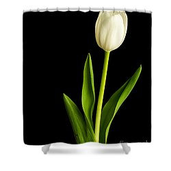 Single White Tulip Over Black Shower Curtain by Edward Fielding