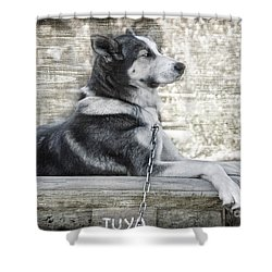 Shower Curtain featuring the photograph Tuya - Sled Dog Of Denali by Dyle   Warren