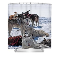 Sled Dogs Shower Curtain by Duncan Selby