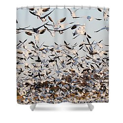 Snow Geese Takeoff From Farmers Corn Field. Shower Curtain