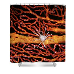 Soft Coral Crab On Red Gorgonian Shower Curtain