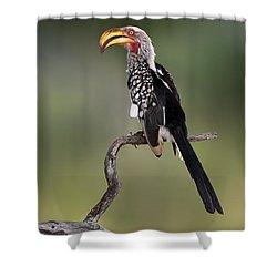 Southern Yellowbilled Hornbill Shower Curtain by Johan Swanepoel