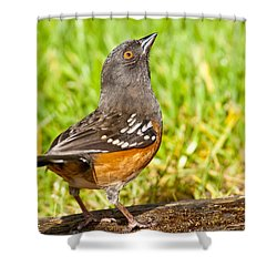 Spotted Towhee Looking Up Shower Curtain