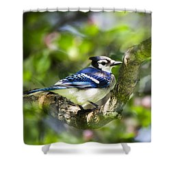 Spring Blue Jay Shower Curtain