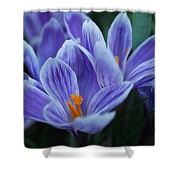 Spring Crocus Shower Curtain by Julie Andel