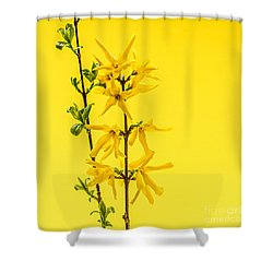 Spring Yellow Forsythia Shower Curtain by Elena Elisseeva