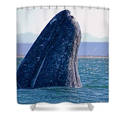 Shower Curtain featuring the photograph Spyhopping by Don Schwartz