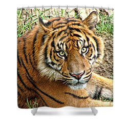 Staring Tiger Shower Curtain