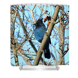 Steller's Jay In Winter Shower Curtain