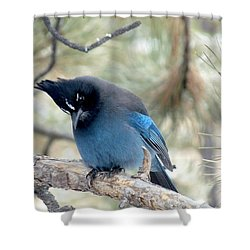 Steller's Jay Looking Down Shower Curtain