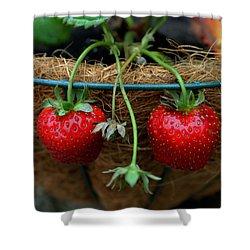 Strawberries Shower Curtain by Pamela Walton