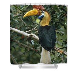 Sulawesi Red-knobbed Hornbill Male Shower Curtain by Mark Jones