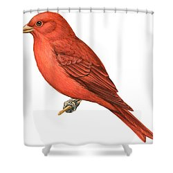 Summer Tanager  Shower Curtain by Anonymous
