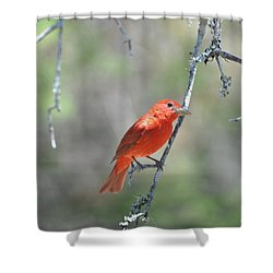 Summer Tanager Shower Curtain