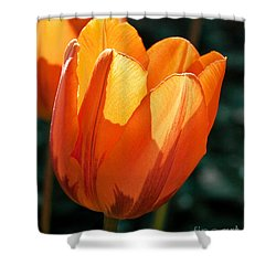 Shower Curtain featuring the photograph Sun Kissed Tulip by Barbara McMahon