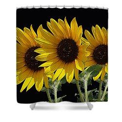 Sunflower Triplets Black Sky Shower Curtain by Robert J Sadler