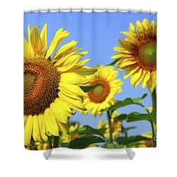 Sunflowers In Field Shower Curtain by Elena Elisseeva