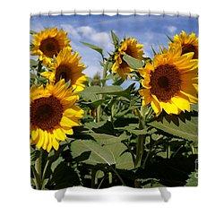 Sunflowers Shower Curtain by Kerri Mortenson