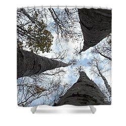 Tall Birches Shower Curtain