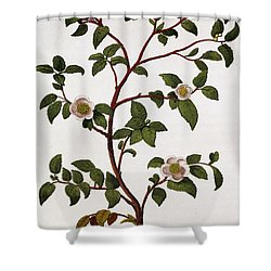 Tea Branch Of Camellia Sinensis Shower Curtain by Anonymous