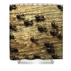 Termites On Wood With One Carrying Shower Curtain by Konrad Wothe