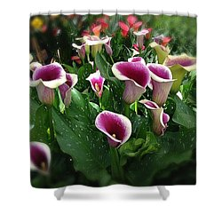 The Calla Lilies Are In Bloom Again Shower Curtain by Mark David Gerson