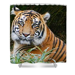 The Eyes Of A Sumatran Tiger Shower Curtain by Emmy Marie Vickers