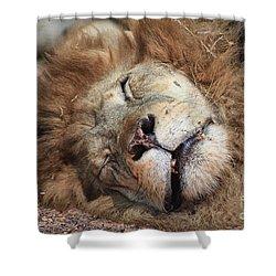 The Lion Sleeps Tonight V4 Shower Curtain by Douglas Barnard