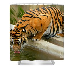 Thirsty Sumatran Tiger Shower Curtain by Emmy Marie Vickers