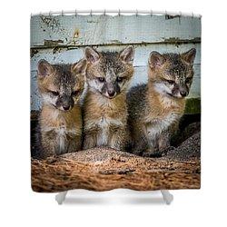 Three Fox Kits Shower Curtain by Paul Freidlund