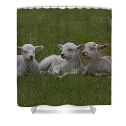 Three Lambs Shower Curtain by Richard Baker