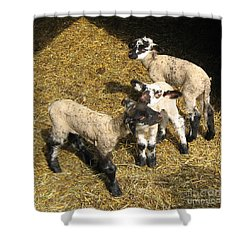 Three Little Lambs In Spring Sunshine Shower Curtain
