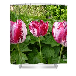 Three Pink Rembrandt Tulips Shower Curtain by Lingfai Leung