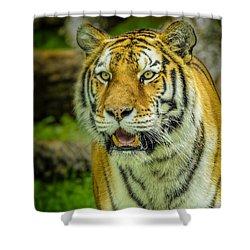 Tiger Stare Shower Curtain by LeeAnn McLaneGoetz McLaneGoetzStudioLLCcom